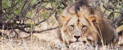 ボツワナの動物保護区Wild at Tuliでくつろぐライオン